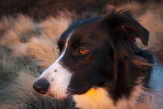 Watching the sun set (Keartona) Tags: sunset dog colour evening amber eyes collie derbyshire border watching textures poppy coombes charlesworth