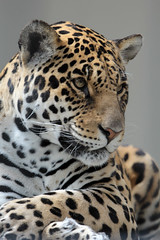 Jaguar (K.Verhulst) Tags: jaguar cats antwerpen belgium belgie deantwerpsezootheantwerpzoo specanimal ruby10 ruby15 flickrbigcats kat cat