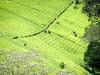 Kenyan Tea Pickers (Carundhammer) Tags: africa people food beautiful landscape tea drink kenya kenyan teapicking
