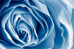 Blue Rose Macro - HDR (freestock.ca  dare to share beauty) Tags: blue shadow flower macro texture nature floral monochrome beautiful beauty up rose closeup contrast botanical photo petals high flora focus pretty shadows close natural image quality background curves stock picture cyan free rosa curls monotone monochromatic shades highlights sharp petal crisp photograph shade round fancy backdrop botanic swirl swirls stacking curl elegant ornate curve delicate botany pure res highlight contrasts hdr botanics circular resource textured elegance purity contrasted textural focal freestockca
