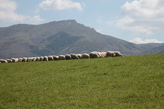 pays_basque-8.jpg (patrice fender) Tags: agriculture moutons paysbasque troupeau