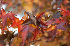 Autumn...the year's last, loveliest smile. (loobyloo55) Tags: autumn orange brown green leaves canon gold golden leaf dof bokeh australia 50mmlens canoneos400d