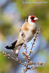 Posing Nicely (GemElle Photography) Tags: red bird yellow nikon goldfinch feathers goldie gemelle sigma50500 d600 gemelle1