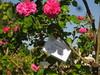 IMG_0530 (ceztom) Tags: city trip roses plant cemetery rose by garden square with native cemetary hamilton visit betty historic rivers april sacramento 20 davis speech 19 rosegarden cezanne perennials opengardens kathe cez 1000broadway april20 2013 930–200