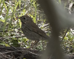 Gray-cheeked Thrush (Mikael Behrens) Tags: bird texas wildlife portaransas paradisepond