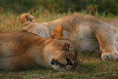 Nap time (Jason Goodman Photography) Tags: africa sleeping wild animal lion safari bigcat zambia bigfive southluangwa southluangwanationalpark