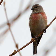 Male linnet, dressed up and singing (Sergei Golyshev) Tags: male bird nature wildlife birding telephoto common plumage linnet  carduelis  cannabina