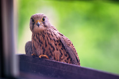 hello there little kestrel (Dennis_F) Tags: flower bird window looking breeding brten falcon breed kestrel vogel flowerbox falke falcotinnunculus eier commonkestrel blumenkasten turmfalke legen egss brtet
