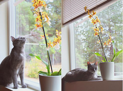 (Whitneylee) Tags: life flowers trees pet orchid cute window yellow cat grey healthy bedroom friend feline view orchids kitty sleepy lazy lilly flowerpot growing everyday korat windowseal