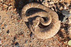 Coiled Atrox (CrotalusfreakPhotography) Tags: wild arizona southwest nature toxic beauty animal animals landscape photography desert reptile snake wildlife gorgeous awesome western wilderness rattlesnake herp southwestern venomous herpetology crotalus crotalusatrox desertscape herping westerndiamondbackrattlesnake
