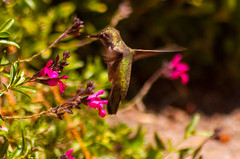 Driving the green fuse (sbisson) Tags: california green birds garden spring wings feeding wildlife small beak feathers sanjose fast tiny nectar iridescent hummingbirds beating hover