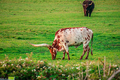 A California Longhorn (DoctorLove415) Tags: life beautiful beauty northerncalifornia wow quiet peace cattle horns peaceful bull serenity damn selfreflection serene norcal picturesque rare humboldtcounty grazing soothing wideopenspace northcoast godscountry peaceofmind longhorncattle marinate northstate cattleranch cattlegrazing grazingcattle highway255 wideopenfield norcalphotographers cattleonthecoast californiahighway255