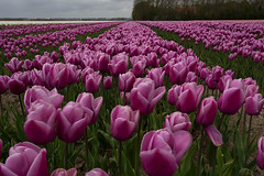 The purple fields of Holland (LeChienNoir) Tags: flowers holland color netherlands canon landscape purple tulips nederland wideangle polder landschap tulpen paars kleur 1740f4 groothoek 2013 lechiennoir 5dm3