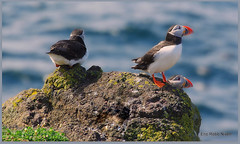 Puffins on the Isle of May (eric robb niven) Tags: nature scotland dundee wildlife puffins pentaxkx wildbird ericrobbniven