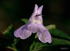 Ant-and-Monkey-Flower (Man In The Woods) Tags: macro arkansas monkeyflower wildflower ozarks