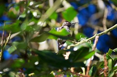 DSC_1522 (john.r.d.reynolds) Tags: goldengatepark birds wildlife hummingbirds