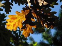 Quercus robur (Alonso Henrquez) Tags: colors quercus canong3 encino roble colchagua quercusrobur cfb alonsohenrquez