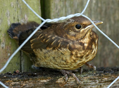 """Mum told me to wait here and keep perfectly still... (SteveJM2009) Tags: uk baby cute fence spring waiting sweet beak feathers may fluff chick wiltshire blackbird markings plumage stevemaskell upavon fledgeling wilts 2013"