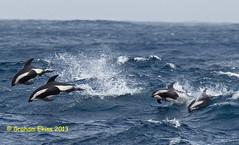 Hourglass Dolphin,  Lagenorhynchus cruciger, (Graham Ekins) Tags: antarctic cetacean southorkneyislands hourglassdolphin southsandwichislands canon1dmkiv mvplancius lagenorhynchuscruciger grahamekins canon400mmf4isaf ah9k5995new