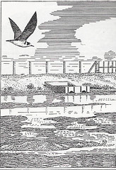 Black Tern (Chlidonias niger), by Roy Weller