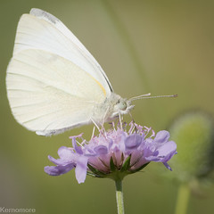 large or small white. Not sure... (Kernomore) Tags: sunny landscape nature 1x1 meadow weather type light countryside summer country k1 animal event butterfly outdoor camera england afternoon pentax frame weekend field unitedkingdom gb