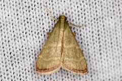 Arta olivalis - Olive Arta Moth - Hodges#5568 (SouthJerseyDevil) Tags: nature insects moths mothing mothnight new jersey mothsinsect macrocanon 100mm lnational moth week 2016