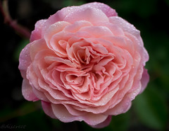 _OBT1700-1 (discreet*(:[ )) Tags: 7d canon mark ii photography photo day photooftheday 24mm f28 flower queen elizabeth park garden pink