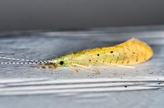 Profile (ScreaminScott) Tags: bug insect caddisfly ordertrichoptera longhornedcaddisflynectopsychepavida