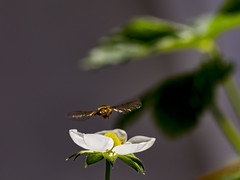 Fly, landing (sturlasthre) Tags: syrphus ribesii canon eos 6d macro fly flower strawberries landing summer norway tokina 100mm