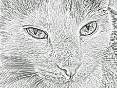 Chloe poses (bronxbob) Tags: cats felines domesticanimals pets chloe