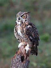 Great Horned Owl (Susan Newgewirtz) Tags: raptor greathornedowl owl ontario wildlife wildlifephotography bidsofprey crc canada bird outdoor