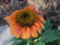 Coneflower (EllenJo) Tags: pentaxqs1 pentax july 2016 ellenjoroberts ellenjo coneflower echinachea flowers yard garden