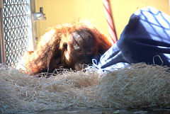 A cheeky glance at the camera, while the other Orang rolls around under the blue cover (vic_sf49) Tags: vicsf49 uk england dorset monkeyworld cronin