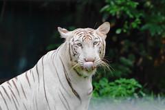 White Bengal Tiger at Zoo Negara Malayasia 2016-06-17 (kuromimi64) Tags: zoonegara malaysia   zoo nationalzoo zoonegaramalaysia selangordarulehsan kualalumpur whitetiger  whitebengaltiger bengaltiger tiger
