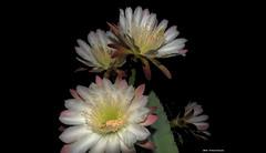 ER 160901 (45) (Paolo Bonassin) Tags: flowers cactaceae cactacee cactus succulente cereus cereusperuvianus