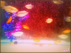 22145000621_3eacffcb45_o (yogeshm14) Tags: fish valsad clickbyme yogesh india fishtank like water cool blue red tree redtree greentree wow nise sonice me desart likefresh