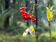 Rowan berries after rain (TaleOfJoy) Tags: atumn centralparkhelsinki finland helsinki keskuspuisto palohein syksy