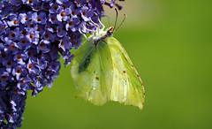 hang loose (Simple_Sight) Tags: butterfly schmetterling macro closeup garden brimstone zitronenfalter natur nature explore hangloose surfing ngc npc