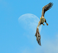 WTE + moons (martinjonesmull) Tags: mull whitetailed eagle