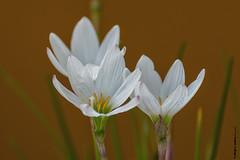Danza de azucenitas (moligardf) Tags: flores azucenitas de ro culltivo domstico jardn maceta planta simply superb
