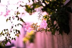 Flower (yasu19_67) Tags: flower bokeh sunlight wall alley digitaleffects filmlook filmlike schneiderrolleislxenon50mmf18 50mm sony7ilce7 xequals xequalscolorslidefilms osaka japan