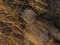 OH OH_china doll (Kestner ? Biedermeier ?)_1860 (leaf whispers) Tags: shoulderheaddoll chinadoll chinashoulderhead whitedoll browneyes blackhair germandoll madeingermany porcelaindoll porcelainshoulderhead poupeetetebuste nakeddoll nudedoll uniquedoll originaldoll eccentricdoll artdoll artisticdoll decayedbeauty highbrow chinahead chinaheaddoll poupee ancienne porcelaine parian antiquedoll leatherhands leatherarms clothbody civilwar coveredwagon sculptedcurls flattop invisibleporcelainrepair chinarestoration sixsewholes 6sewholes nostrilcircles originalbody originalclothbody originalleatherarms kestner restoredporcelain restoredkestner raredoll browneyed browneyedkestner handmadedoll poupe ttebuste porcelainevernisse poupettebusteenbiscuitverniss folkart vintage spiritdoll haunteddoll cracked broken oldtoy antiquetoy bizarredoll biedermeier maker artist doll light obsolete sausagecurls pinktint greiner chiaroscuro naturallight highcontrast nophotoshop