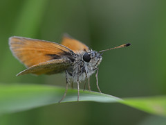 Zwartsprietdikkopje (diederickmeinen) Tags: vlinders