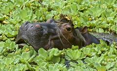 Hipo nose (Jaime Salazar .coming back from hard days) Tags: hipopotamo