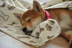 Too cute #toocute #shibainu #cute #puppy #shiba (mac d-ski photography) Tags: shibainu puppy dog nature animal shiba toocute sweet