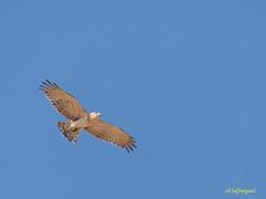 Joven de Culebrera europea (Circaetus gallicus) (5) (eb3alfmiguel) Tags: aves rapaces diurnas culebrera europea
