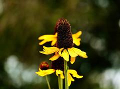 black eyed Susan (Sky_PA (On and Off)) Tags: blackeyedsusan flowers yellow summer bokeh beautiful beautifulearth inspiredbylove petals amateurphotography colorful closeup canon canoneos t6i rebelt6i unioncanaltunnelpark lebanonpa pennsylvania pennsylvaniastateparks saveearth