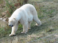 11 (yellowc30) Tags: polarbear