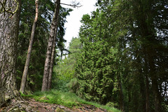 Up in the trees (scarlettKezia.) Tags: tress forest green nature lakedistrict cumbria outdoor outdoors england shade landscape tree plant conifer summer