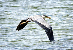 Great Blue Heron III (Photato Jonez) Tags: